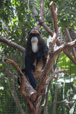 Gibbon sitting on the tree. Pensive Gibbon sitting  on the tree Royalty Free Stock Images
