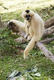 Gibbon sitting on the wood Stock Photography