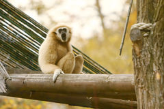 Gibbon sitting on wooden beam Stock Photos
