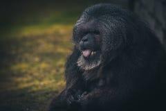 Gibbon smiling monkey stock photo