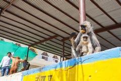 Gibbon som äter kakor på den Pushkar helgedomsjön Arkivfoto