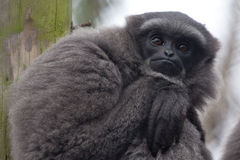 Gibbon stående Royaltyfria Foton