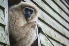 Gibbon staring. Sitting on ledge Royalty Free Stock Photography