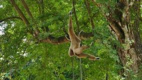 Gibbon sur l'arbre clips vidéos