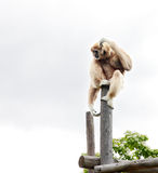 Gibbon sur un poteau photo stock
