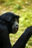Gibbon tief im Gedanken Lizenzfreies Stockfoto