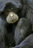 Gibbon tief im Gedanken Lizenzfreie Stockbilder