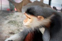 Gibbon-Tier, Affe Stockfotografie