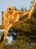 Gibbon in tree Stock Image