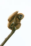 Gibbon on tree brach. A low angle view of a gibbon sitting on a top of tree branch stock photo