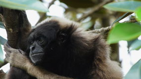 Gibbon in a tree stock video footage