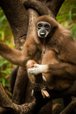 Gibbon. In a Tree Sticking out his tongue stock image