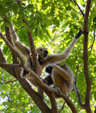 Gibbon Royalty Free Stock Image