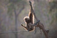 Gibbon und Melone Lizenzfreies Stockbild