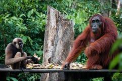 Gibbon und Orangutang sitzendes zusammen essen Stockfotografie
