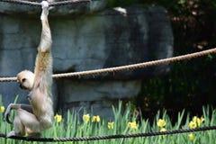 Gibbon unter Blumen lizenzfreies stockfoto