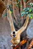 Gibbon van gouden wangen, gabriellae Nomascus Royalty-vrije Stock Foto's