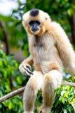 Gibbon van gouden wangen, Nomascus-gabriellae Stock Foto