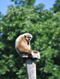 Gibbon. View of a monkey sitting Gibon Stock Images