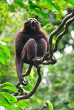 Gibbon vocal display. Gibbon making vocal display on a tree Royalty Free Stock Photo