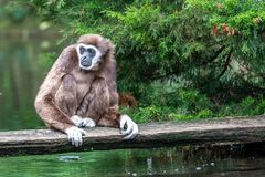 Gibbon is waiting for food stock photography