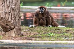 Gibbon is waiting for food stock photo