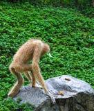 Gibbon-Weg auf Felsen Stockfotografie