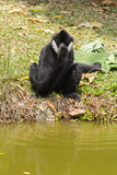 Gibbon (white-cheeked) Stock Photos