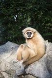 Gibbon White hand Royalty Free Stock Photos