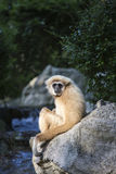 Gibbon White hand Royalty Free Stock Photography