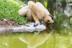 Gibbon woda pitna Zdjęcia Stock