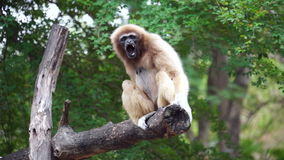 Gibbon yawning - Stock video stock video footage