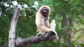 Gibbon yawning on tree stock video