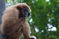 Gibbon in Zoo Stock Images