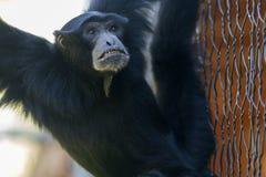 Gibbon at the zoo Royalty Free Stock Photos