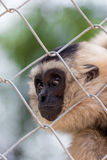 Gibbon in zoo cage,Beauty and loveliness of Gibbons Stock Images