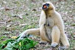 Gibbon in zoo Royalty Free Stock Images