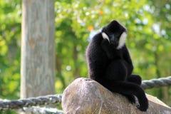 Affe, der seinen Daumen saugt Stockfoto