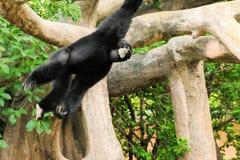 Gibbonapa Arkivfoton