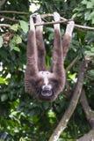 Gibbone Fotografia Stock Libera da Diritti