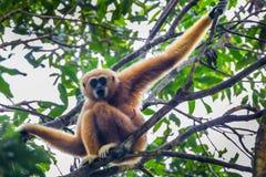 Gibbone bianco--cheeked (leucogenys di Nomascus) Fotografia Stock