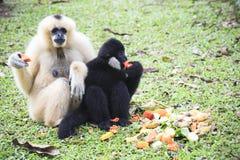 Gibbone bianco e capelli neri della mano che mangiano una certa frutta su terra Immagine Stock Libera da Diritti