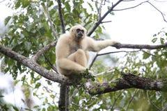 Gibbone del Lar o gibbone bianco-passato immagini stock