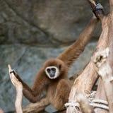 Gibbone di Brown Immagini Stock