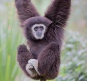 Gibbone passato bianco (lar del Hylobates) Immagine Stock Libera da Diritti