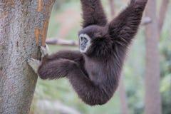 Gibbone passato bianco (lar del Hylobates) Fotografie Stock