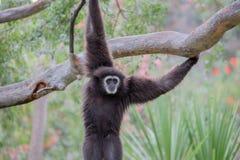 Gibbone passato bianco (lar del Hylobates) Immagine Stock