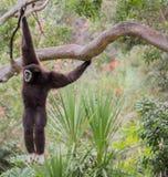 Gibbone passato bianco (lar del Hylobates) Immagini Stock Libere da Diritti
