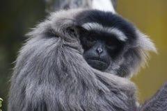 gibbonen räckte white Arkivfoton