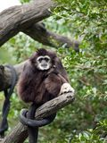 gibbonen räckte white Royaltyfri Fotografi
